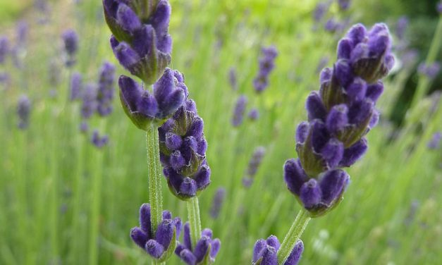 Variations on Rice Recipes: Lavender infused Rice