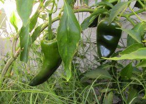 Poblano Chili Plant