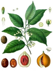 nutmeg poster