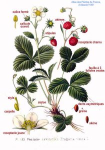 Anatomy of a Strawberry plant